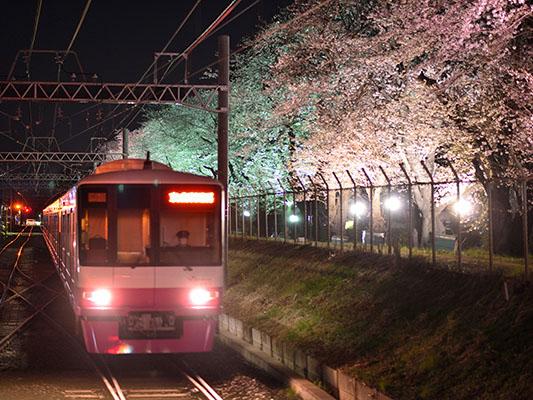 the trackside cherry trees will be illuminated